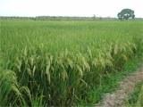 producao-recorde-arroz