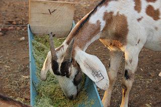 Alimentação animal na estiagem