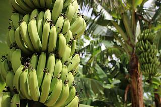 cultivo banana