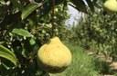 Pera cultivada no Vale do São Francisco é enviada à Serra Gaúcha