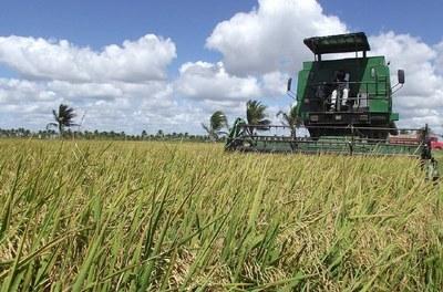 Colheita do arroz no Itiúba