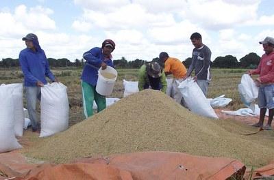 Rizicultura em Alagoas