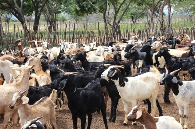 Codevasf provê suporte à caprinocultura familiar no Norte da Bahia.jpg