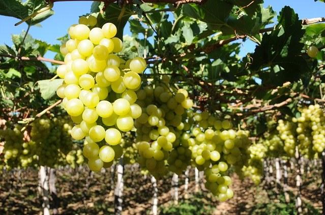 Balanço de irrigação - uva